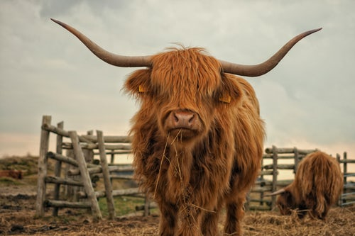 Brown highland cow with large horns in a field in Scotland